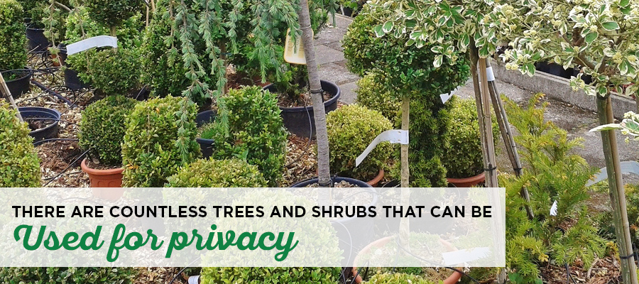 How To Choose The Best Privacy Trees Privacy Trees For Yard