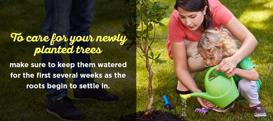 Watering Privacy Trees After Planting